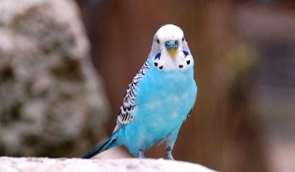 Фото: Голубой волнистый попугай