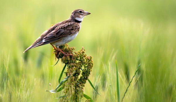 Фото: Птица лесной жаворонок