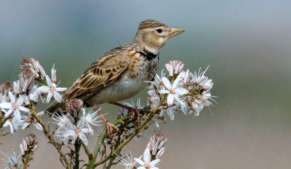 Фото: Весенняя птица жаворонок