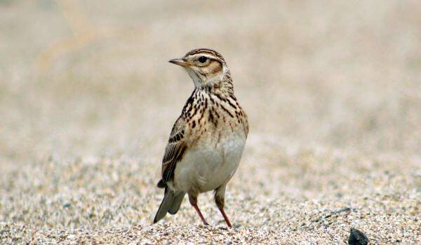 Фото: Птица жаворонок