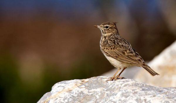 Фото: Певчая птица жаворонок