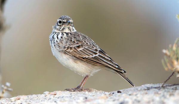 Фото: Птица полевой жаворонок