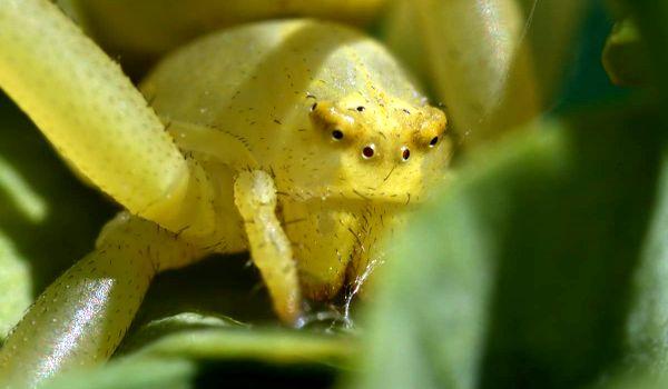 Фото: Ядовитый жёлтый паук