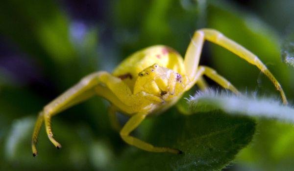 Фото: Маленький жёлтый паук