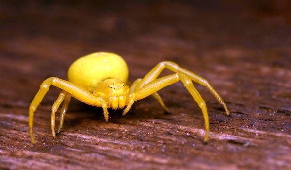 Фото: Жёлтый паук в России