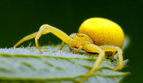 Фото: Жёлтый паук