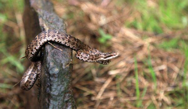 Фото: Змея щитомордник из Красной книги
