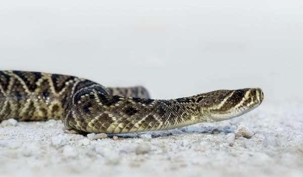 Фото: Змея щитомордник
