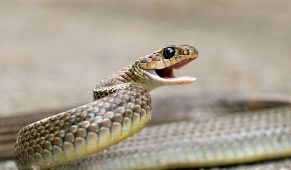 Фото: Змея желтобрюх из Красной книги