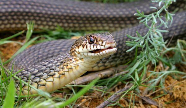Фото: Змея желтобрюх в России