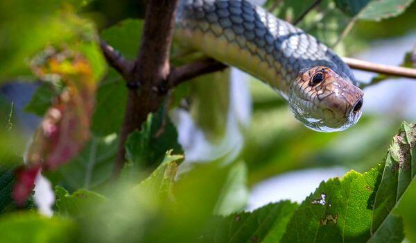 Фото: Змея желтобрюхий полоз