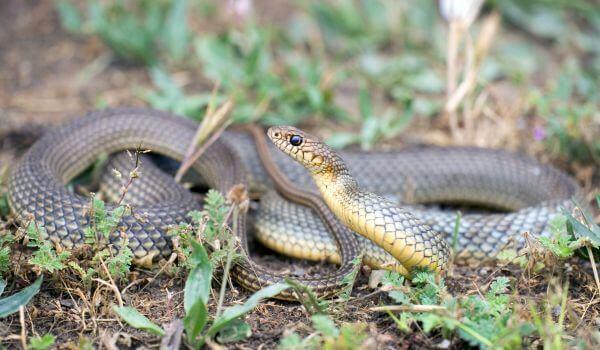 Фото: Змея желтобрюх в Ростовской области