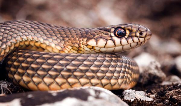 Фото: Змея желтобрюх