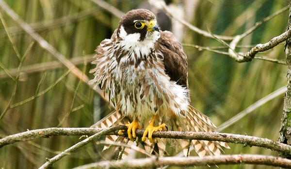Фото: Птица чеглок в России