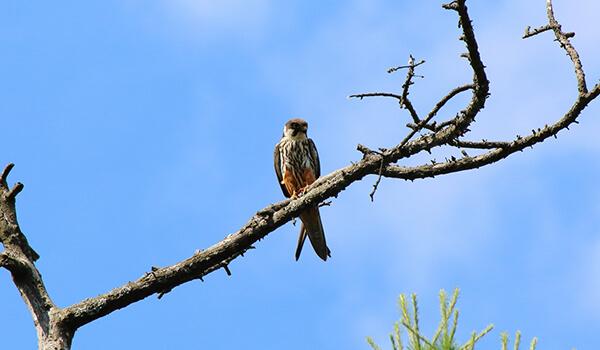 Фото: Птица чеглок в природе