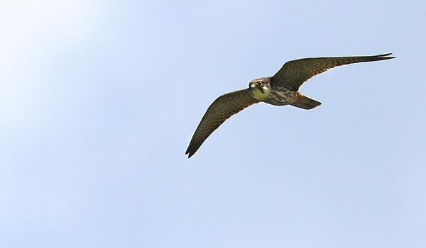 Фото: Птица чеглок