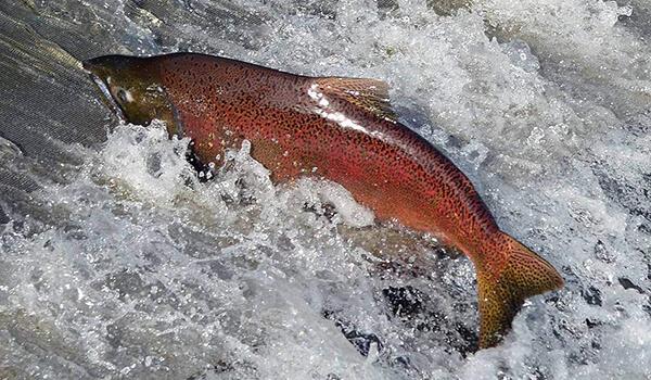 Фото: Красная рыба чавыча