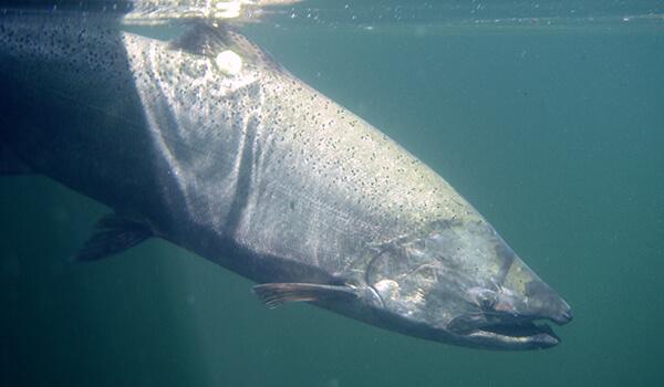 Фото: Рыба чавыча