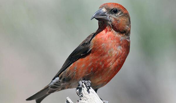 Фото: Птица клёст