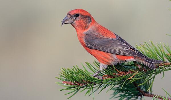Фото: Певчая птица клёст