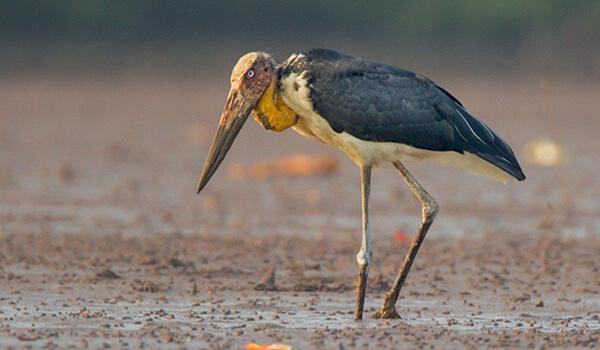 Фото: Птица Марабу