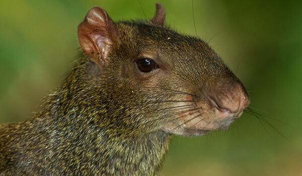 Фото: Животное агути