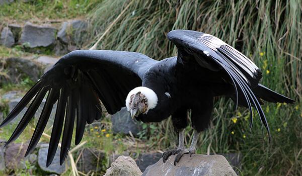Фото: Большой андский кондор