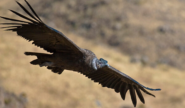 Фото: Андский кондор в полёте
