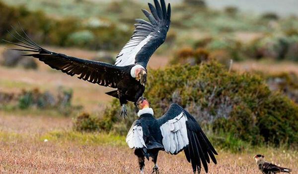 Фото: Андский кондор
