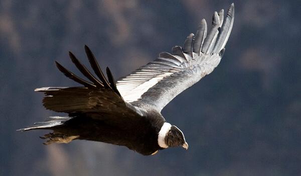 Фото: Птица андский кондор