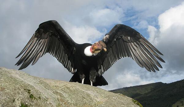 Фото: Как выглядит андский кондор