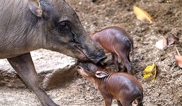 Фото: Детеныши бабирусса