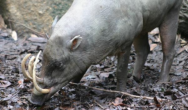 Фото: Свинья бабирусса