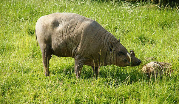 Фото: Дикая свинья бабирусса
