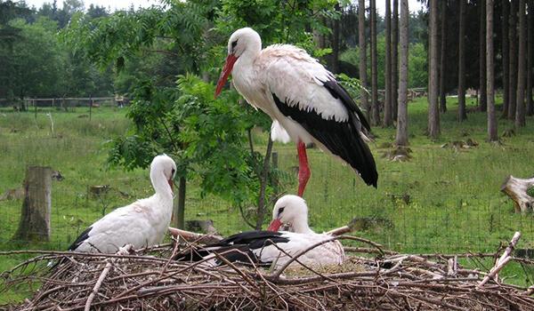 Фото: Птенцы белого аиста