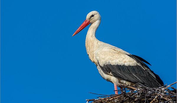 Фото: Птица белый аист