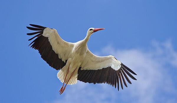 Фото: Белый аист в полете
