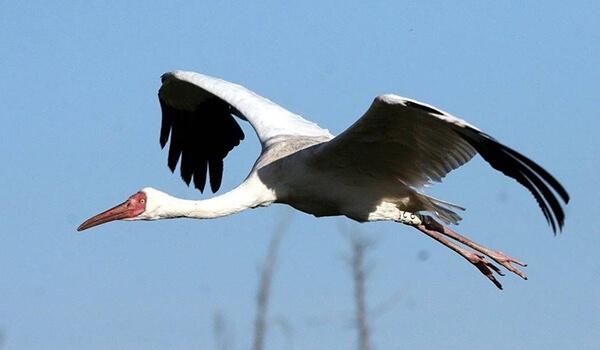 Фото: Белый журавль в полете