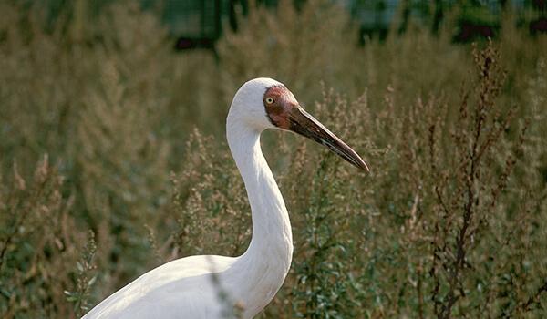 Фото: Белый журавль из Красной книги