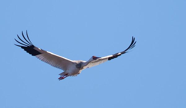 Фото: Птица белый журавль