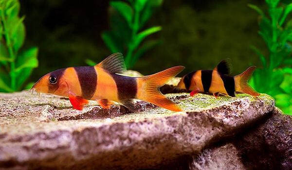 Фото: Рыбки боция клоун