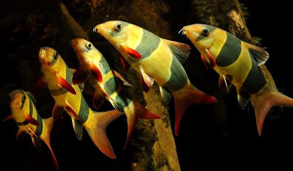 Фото : Рыбки боция клоун