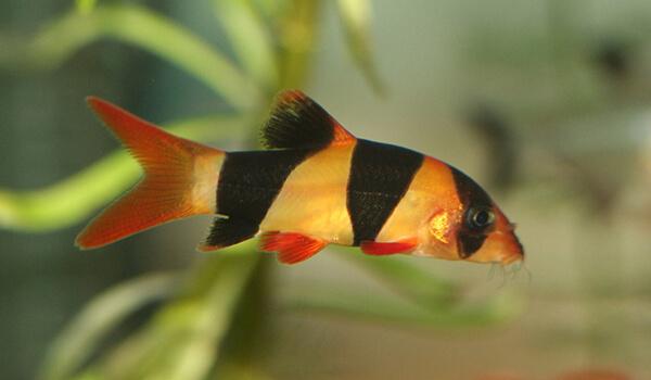 Фото: Рыбка боция клоун