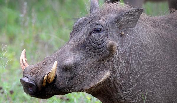 Фото: Бородавочник в Африке