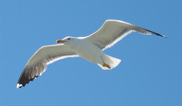 Фото: Чайка в полете