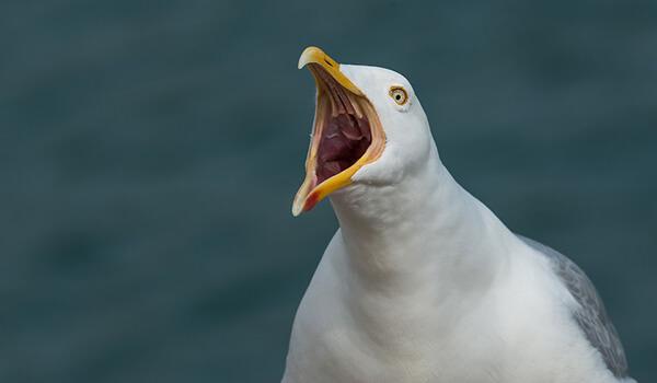 Фото: Птица чайка