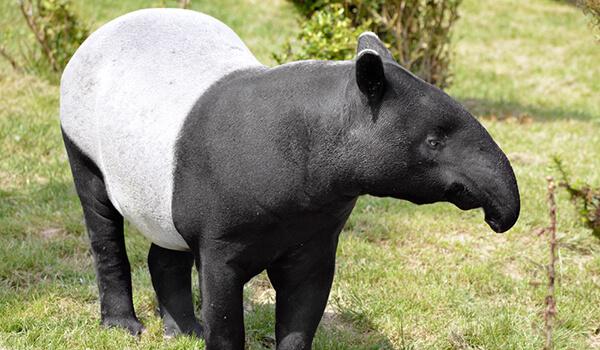 Фото: Чепрачный тапир в природе