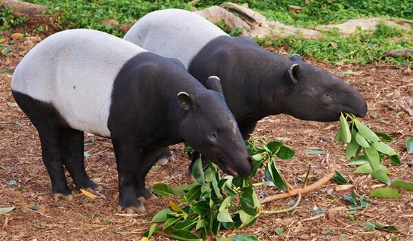 Фото: Пара чепрачных тапиров