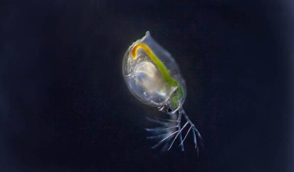 Фото: Дафния в воде