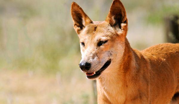 Фото: Собака динго